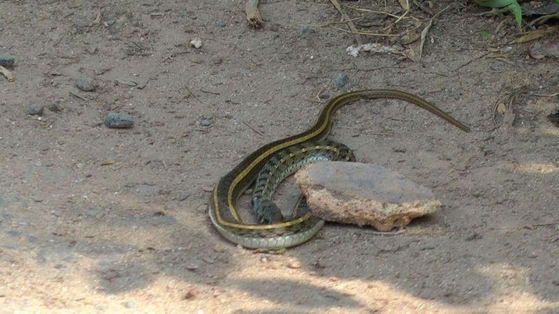 Eine Schlange am Wegesrand in Sri Lanka